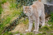 Free Lynx Stock Images - 88034074