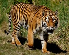 Free Sumatran Tiger. Royalty Free Stock Photos - 88036458