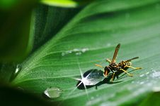 Free Paper Wasp Beside Dew Drop On Plant Leaf Stock Photography - 88036822