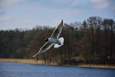 Free Seagull Over Water Stock Photography - 88038652