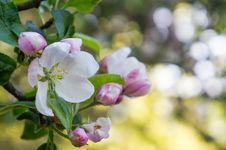 Free A Branch Of Apple Blossoms In Early Spring Stock Photography - 88047052
