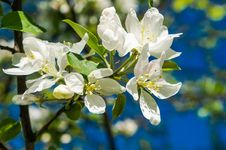 Free A Branch Of Apple Blossoms In Early Spring Royalty Free Stock Photos - 88047078