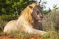 Free Male Lion Stock Image - 8810741