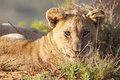 Free Lion Cub Royalty Free Stock Photo - 8810755