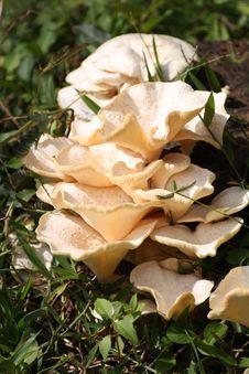 Free Wild Mushroom In Kerala Stock Photography - 8810372