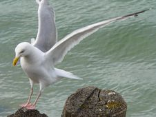 Free Seagull Royalty Free Stock Image - 8810946