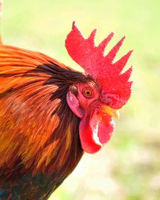 Free Rooster Royalty Free Stock Images - 8811669