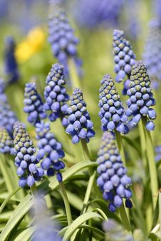 Free Blue Common Grape Hyacinth Royalty Free Stock Image - 8812616