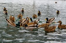 Mallard Ducks Hunt On Park Pond Stock Photos