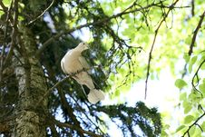 Free Dove Holds A Branch Stock Photography - 8815182