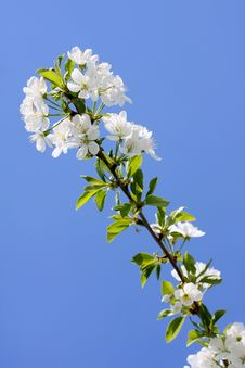 Free Cherry Blossoms Royalty Free Stock Image - 8815446