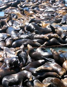 Free Sea Lions Royalty Free Stock Photo - 8816295