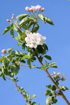 Free Apple Blossoms Royalty Free Stock Photos - 8817128