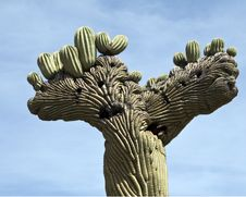 Saguaro Cactus Top Royalty Free Stock Photography