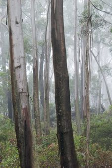 Gum Trees In Mist Royalty Free Stock Photography