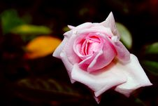 Free Pink Rose In Bloom Stock Photos - 88103483