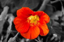 Free Orange Flower Blossom Royalty Free Stock Image - 88104076