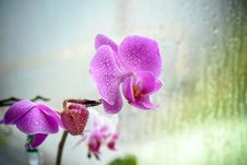 Violet Orchid On Glass In Rainy Day Stock Image