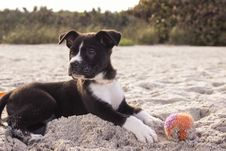 Free Black And White American Staffordshire Terrier Puppy Royalty Free Stock Photos - 88192468