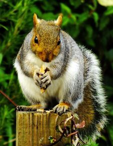 Free Close-up Of Squirrel Eating Outdoors Stock Photos - 88192583