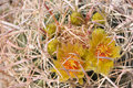 Free Barrel Cactus Flowers Royalty Free Stock Photography - 8820967