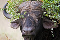 Free Buffalo Royalty Free Stock Image - 8822606