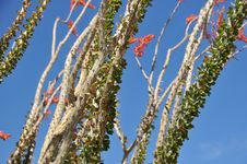 Free Ocotillo Bloom Stock Photography - 8820072
