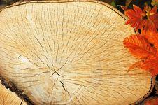Tree Sawn End Royalty Free Stock Image