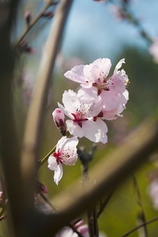 Free Spring Cherry Blossom Stock Image - 8820521