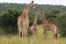 Free Giraffe Family Royalty Free Stock Photos - 8820598