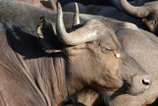 Free African Buffalo Royalty Free Stock Images - 8820629