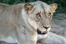 Free Lion Close Up Stock Photos - 8821293