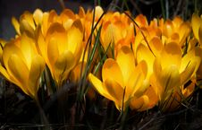 Free Crocus Stock Photography - 8821532