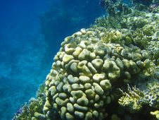 Free Sea Fauna And Coral Of Red Sea Stock Photos - 8822663