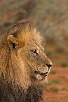 Free Lion Royalty Free Stock Image - 8822746