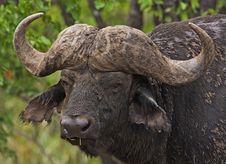Free Buffalo Royalty Free Stock Photos - 8822798