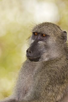 Free Baboon Stock Photo - 8822930