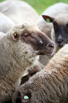 Free Sheeps Stock Photo - 8823750