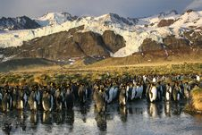 Free King Penguins Colony Royalty Free Stock Photography - 8823957