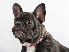 Free Young Female French Bulldog Royalty Free Stock Photo - 8824535