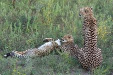 Free Cheetah Family Stock Images - 8824844