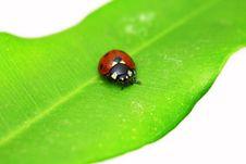 Free Ladybug On Green Leaf Stock Image - 8825011