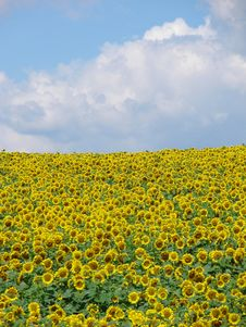 Free Sunflower Field Stock Photo - 8825160