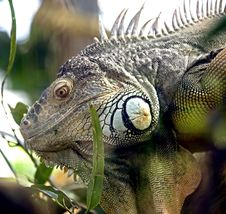 Free Green Iguana 10 Royalty Free Stock Image - 8826396