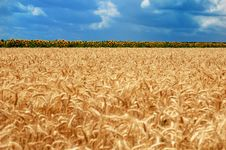 Free Golden Wheat Field Stock Image - 8827191