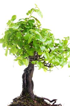 Free Bonsai Tree Stock Photography - 8827882