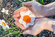 Free Narcissus Flower In The Palm Of Your Hand Stock Image - 88220331