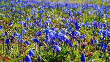 Free Scilla Flowers In The Spring Meadow Royalty Free Stock Photography - 88220337