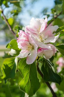 Free A Branch Of Blossoms In Early Spring Royalty Free Stock Photos - 88220548
