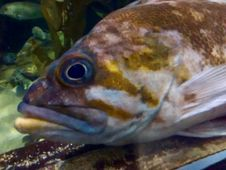 Free Sea Bass Royalty Free Stock Images - 88262989